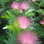 Calliandra surinamensis (Pink Powderpuff)