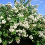 Lagerstroemia indica (White Crepe Myrtle)