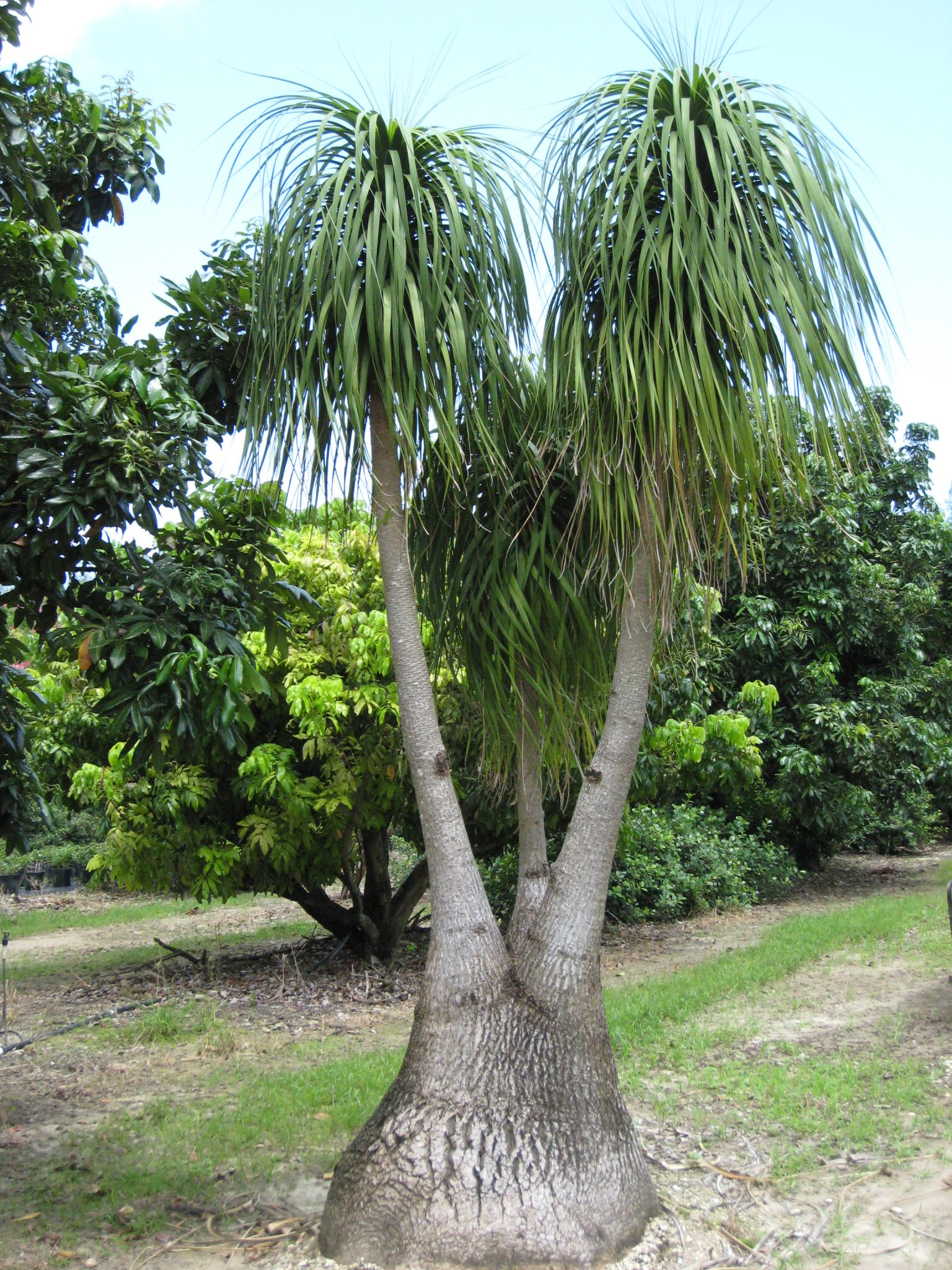Image Result For Elephant Foot Palm