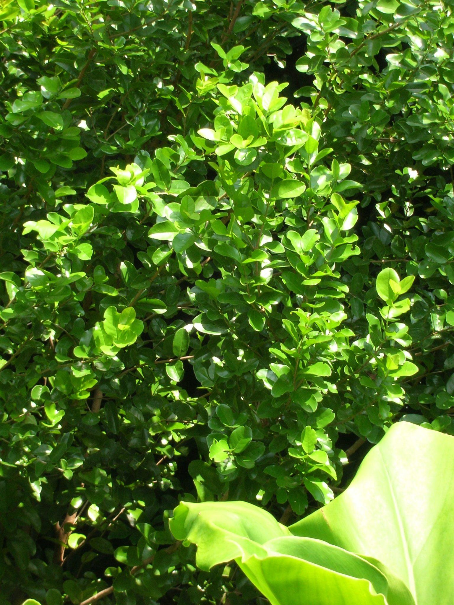 Krugiodendron Ferreum Black Ironwood