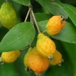 Myrcianthes fragrans (Simpson's Stopper)