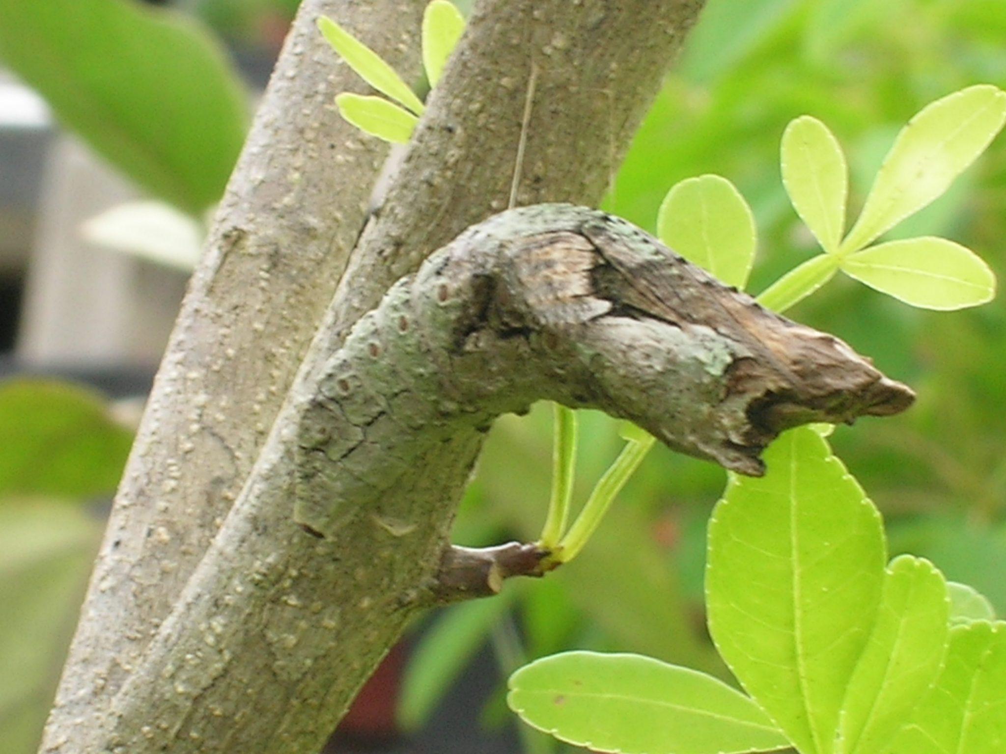 Giant Swallowtail Larvae