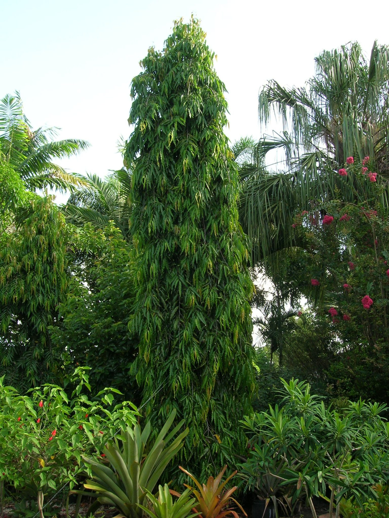 Polyalthia Longifolia Mast Tree Richard Lyons Nursery