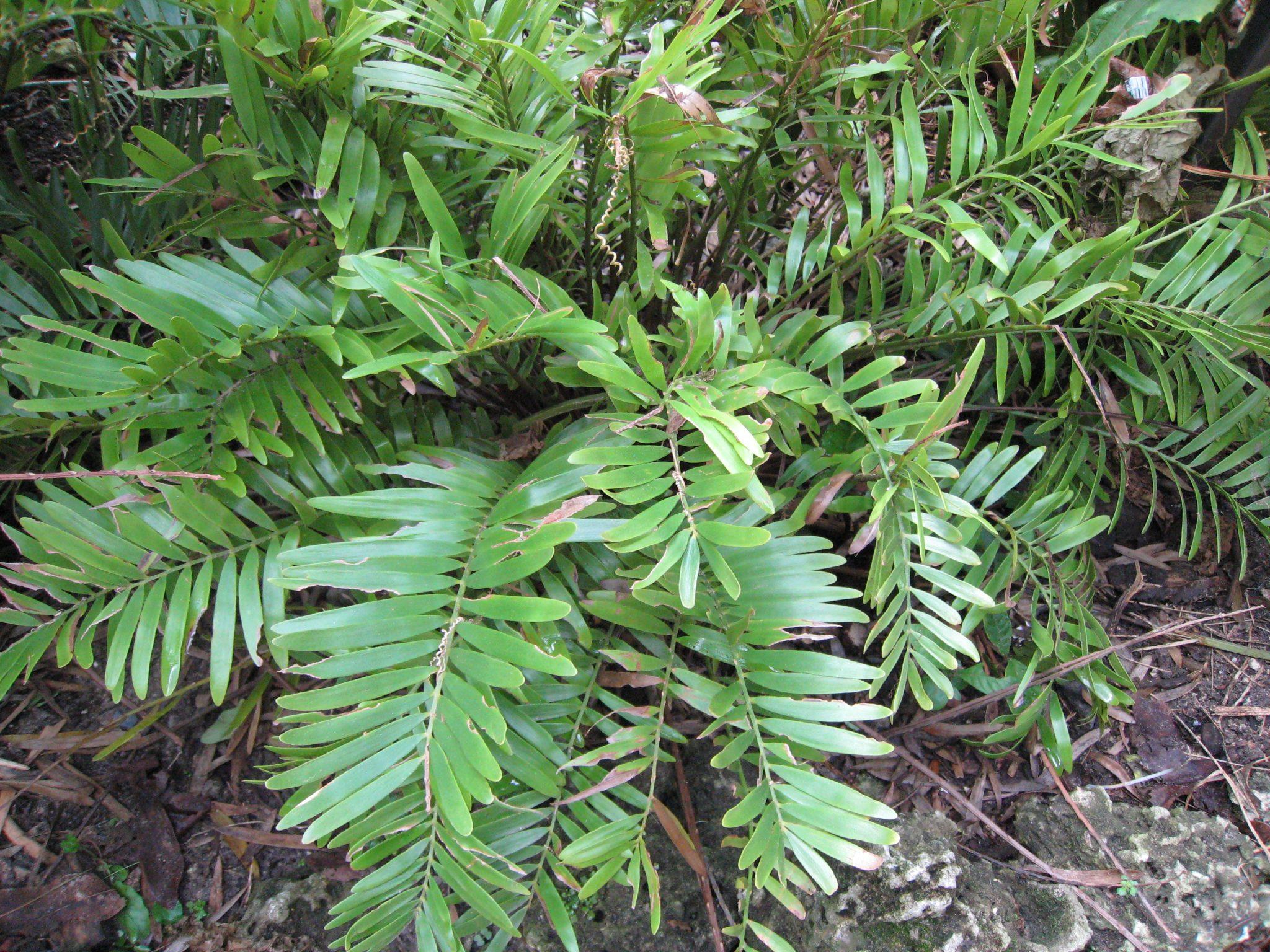 Richard lyons nursery inc page 48 of 53 rare for Planta ornamental zamia