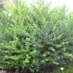 Zanthoxylum fagara (Wild Lime)