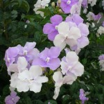 Brunfelsia grandiflora (Yesterday, Today, and Tomorrow)