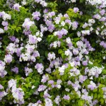 Brunfelsia grandiflora (Yesterday,Today,and Tomorrow)