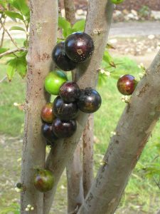 Myrciaria caulifera (Jaboticaba9)