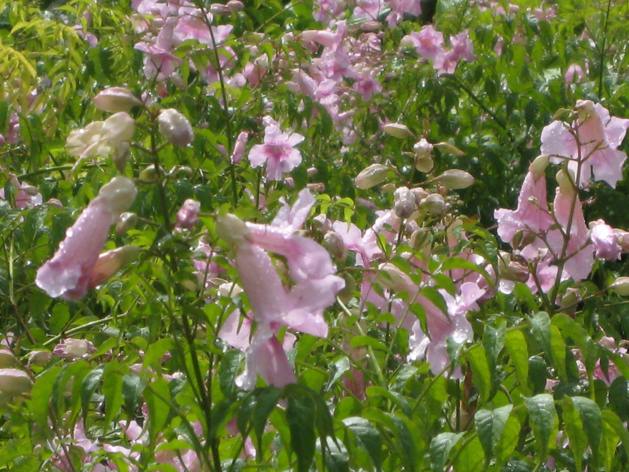 Podranea ricasoliana pink trumpet vine richard lyons nursery inc podranea ricasoliana pink trumpet vine mightylinksfo