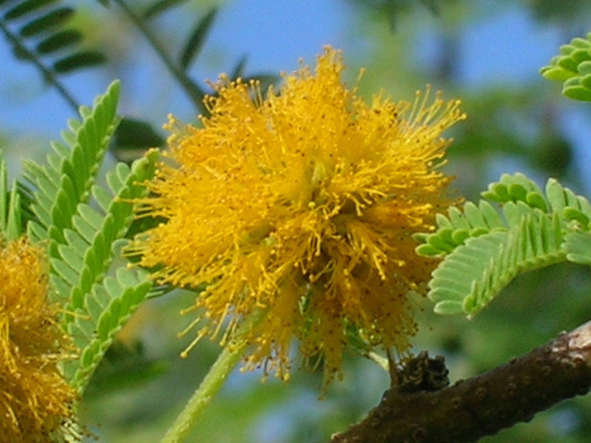 Plant inventory richard lyons nursery inc acacia farnesiana sweet acacia mightylinksfo