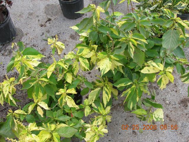 Acalypha Wilkesiana Albo Variegatagreen And White Acalypha