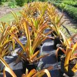 Aechmea blanchetiana (Terrestrial Aechmea Bromeliad)
