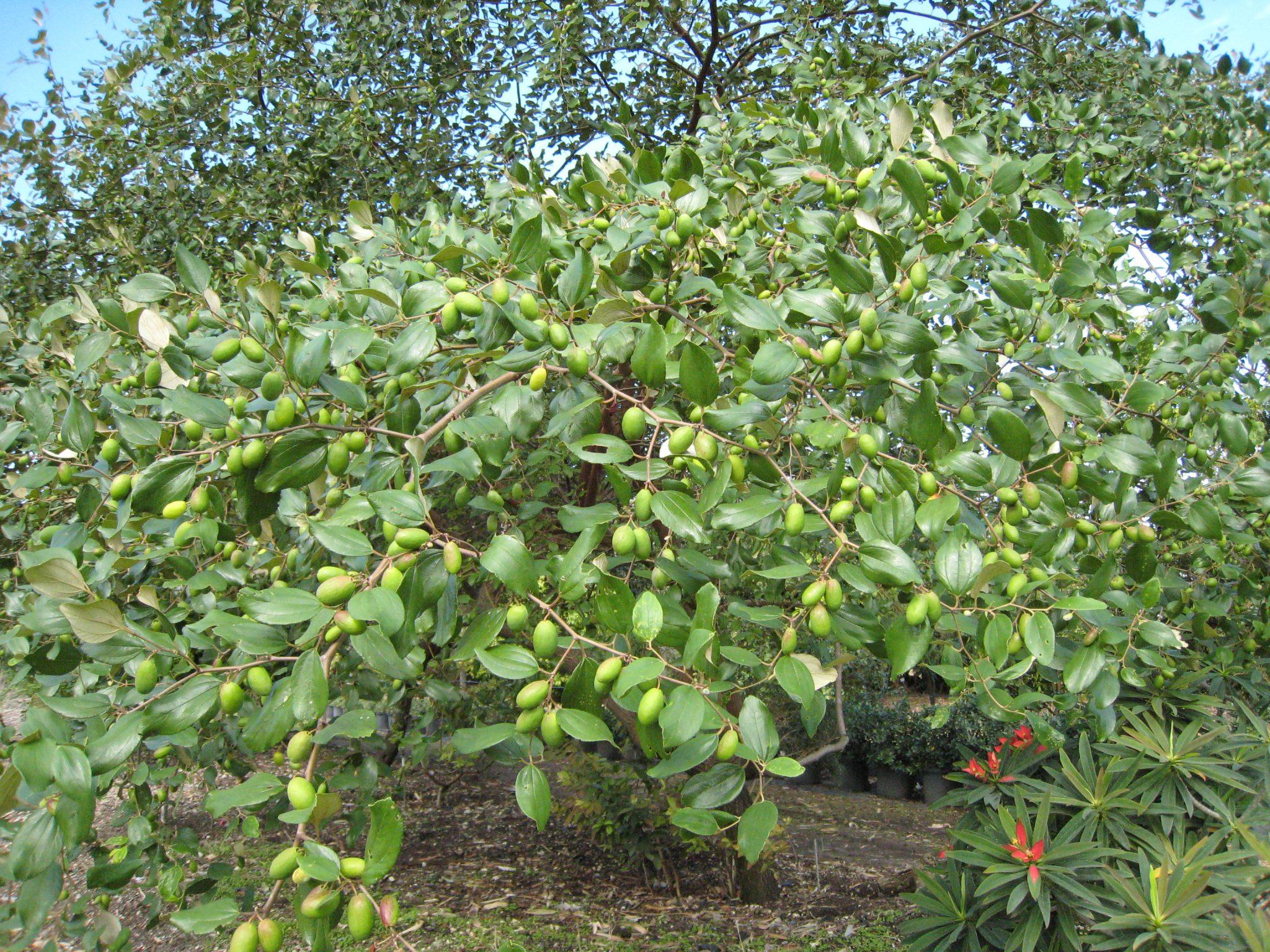 jujube tree for sale