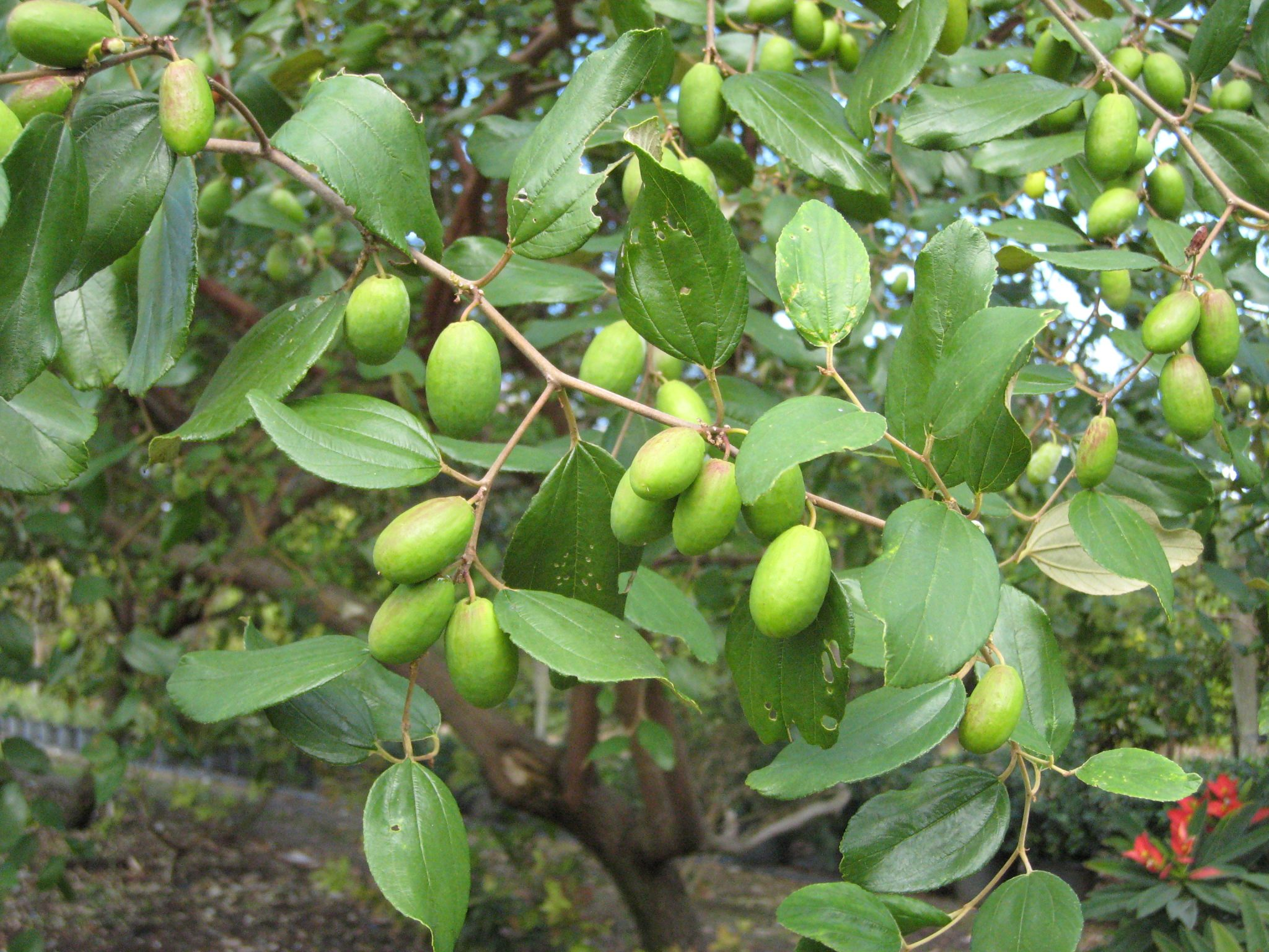 Zizyphus Jujuba Jujube Tree