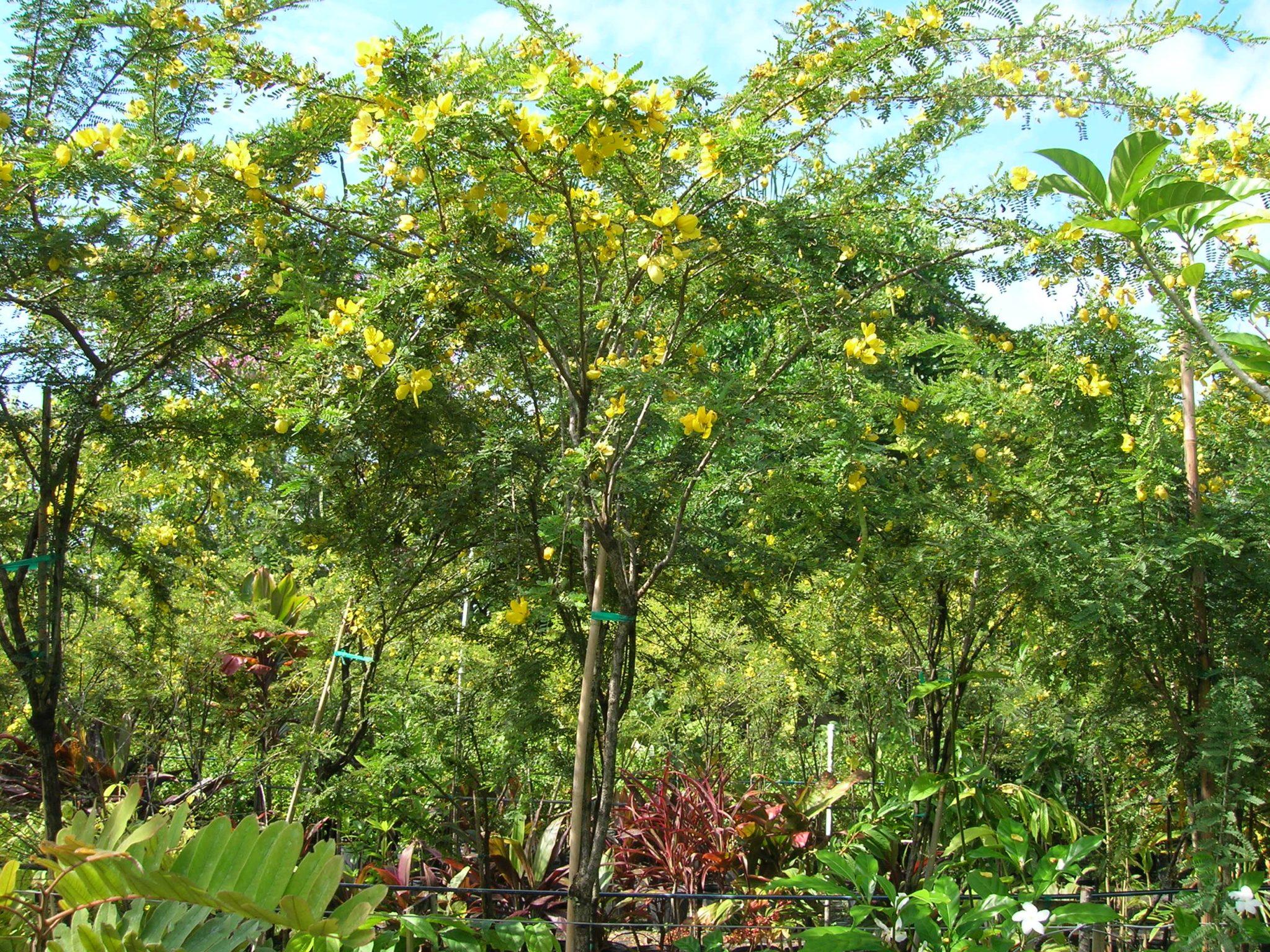 Desert Cassia Senna Polyphylla Richard Lyons Nursery Inc