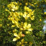 Senna polyphylla (Desert Cassia) in bloom