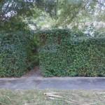 Eugenia uniflora (Surinam Cherry) Hedge