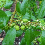 Zizyphus jujuba (Jujube Tree)
