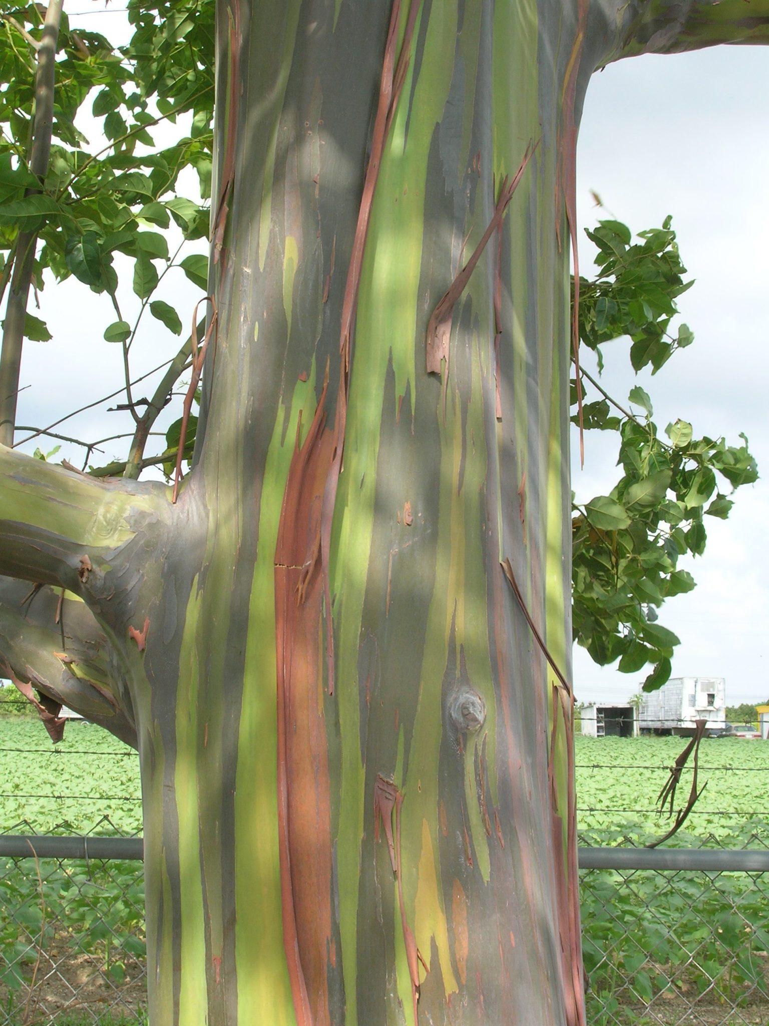 Eucalyptus Deglupta Rainbow