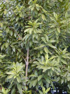 Allspice Trees