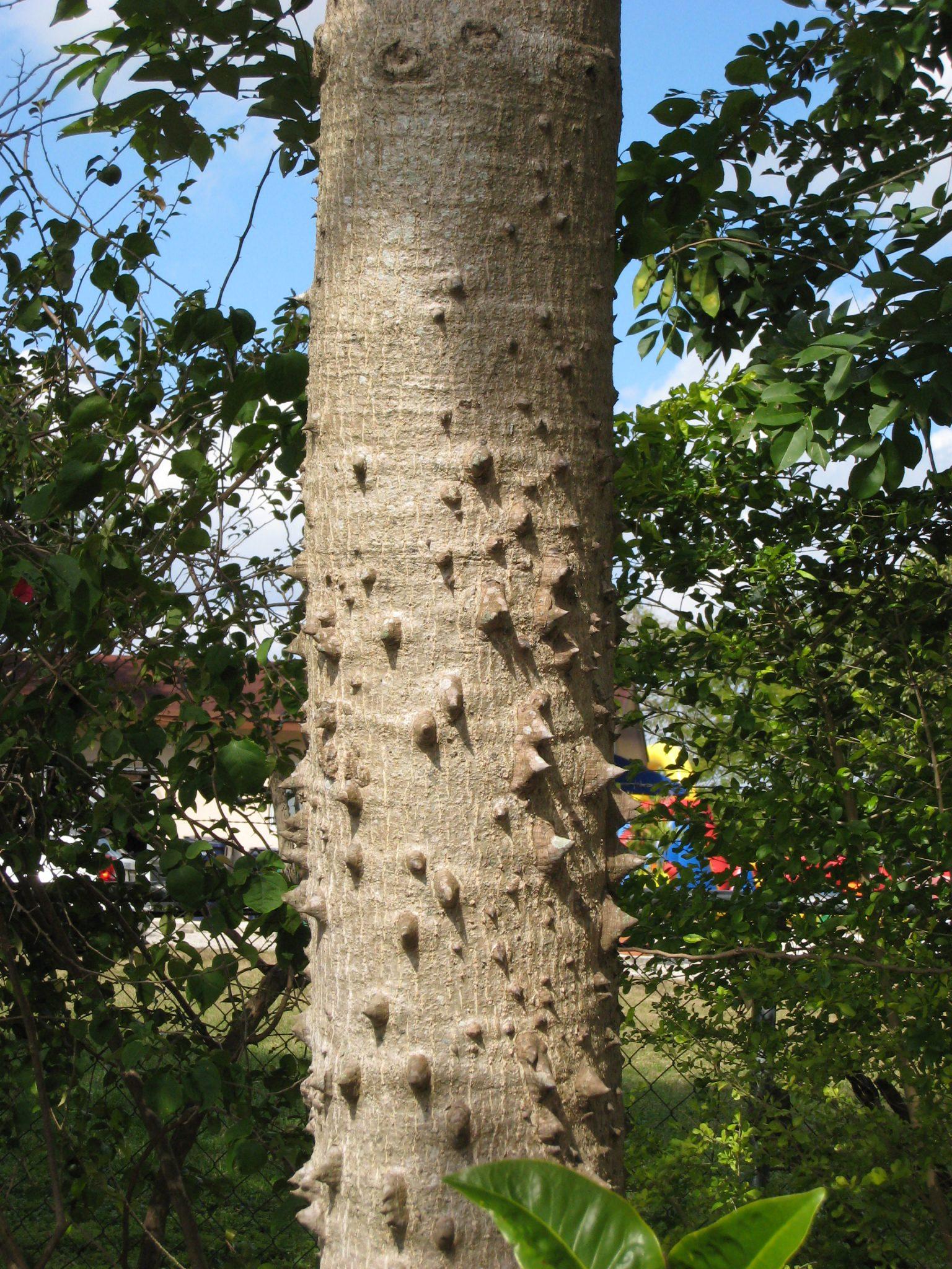 Red Silk Cotton Tree (Bombax ceiba) - Richard Lyons Nursery