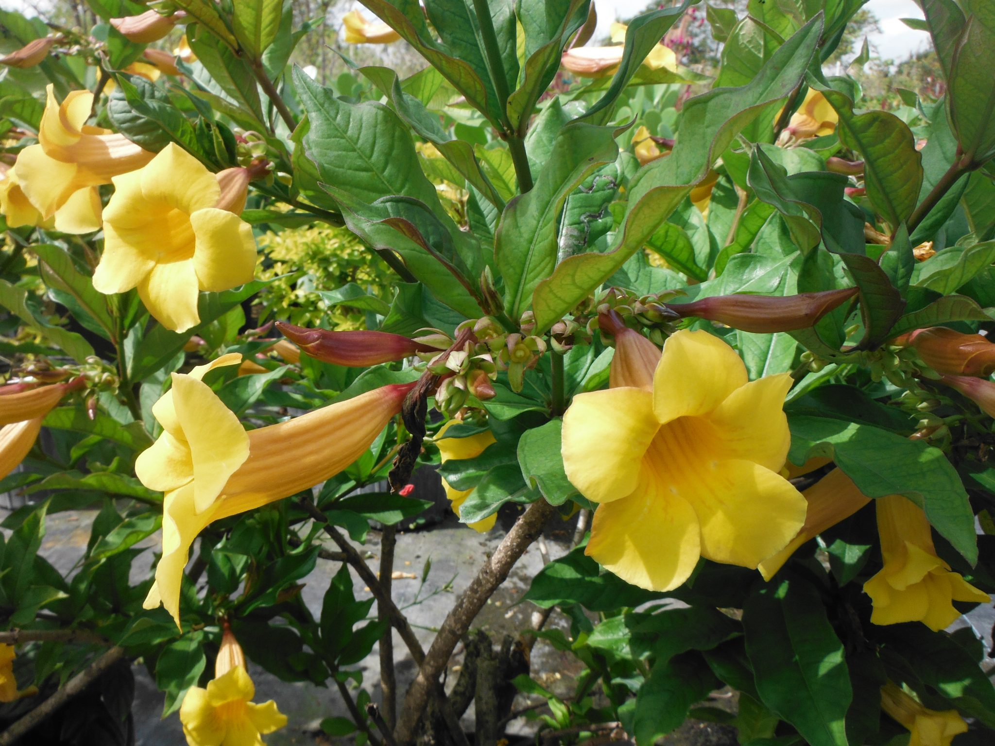 yellow bell seeds allamanda cathartica l Allamanda also known as yellow bell  double golden allamanda (allamanda cathartica our annual flowers are available in both seeds and plants from.