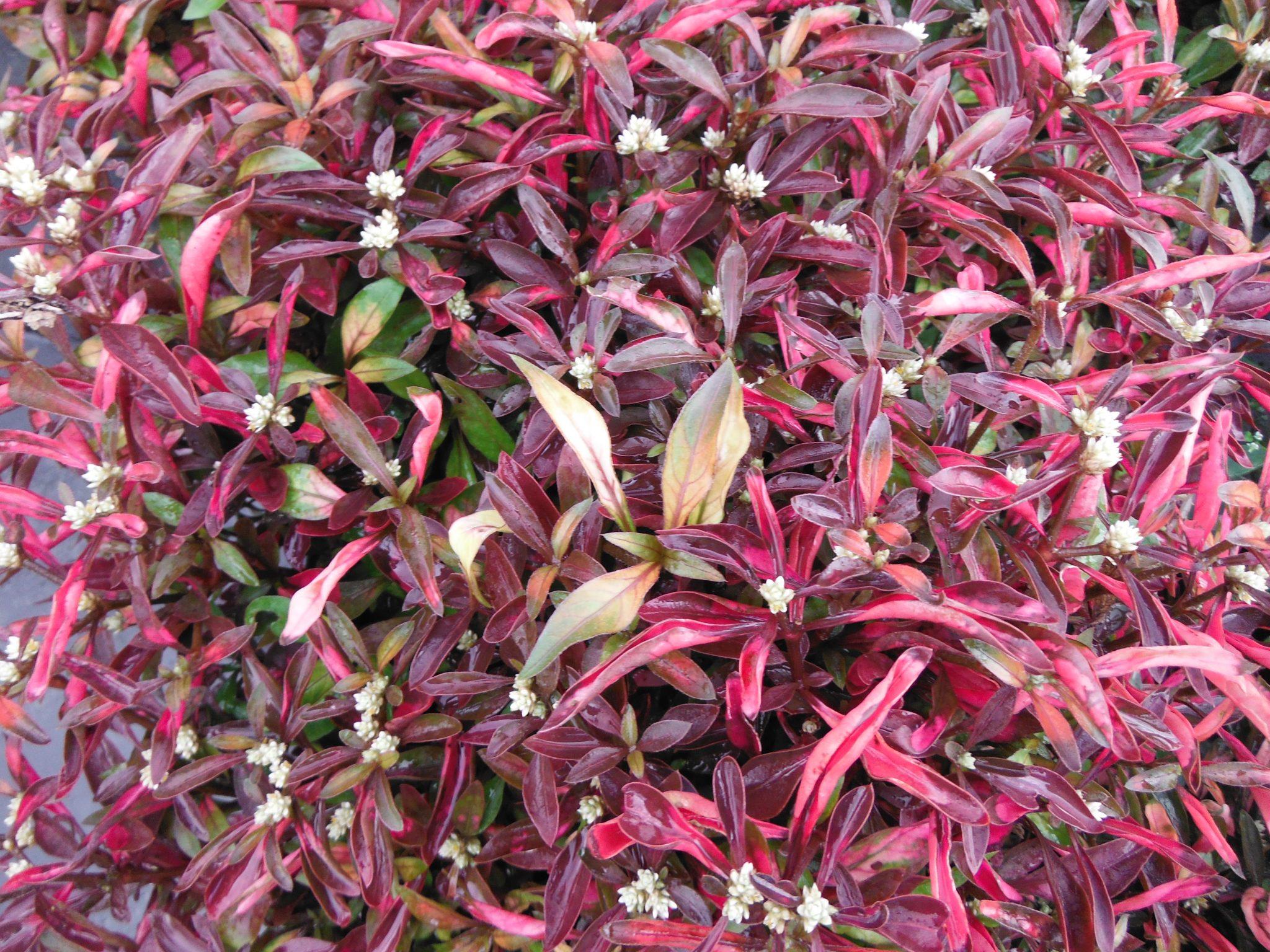 Alternanthera ficoidea(Joseph's Coat) - Richard Lyons ...