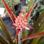 Ananas lucidus (Pink Pineapple)