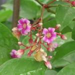 Averrhoa carambola (Starfruit)