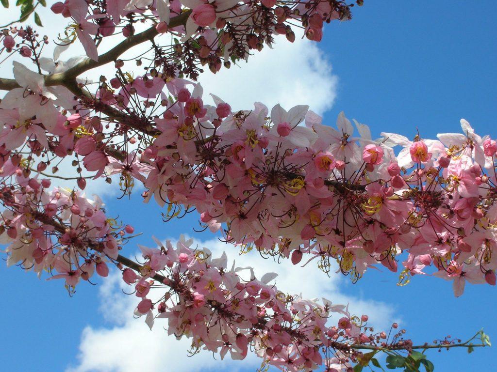 Pink Shower Tree Cassia Bakeriana Richard Lyons