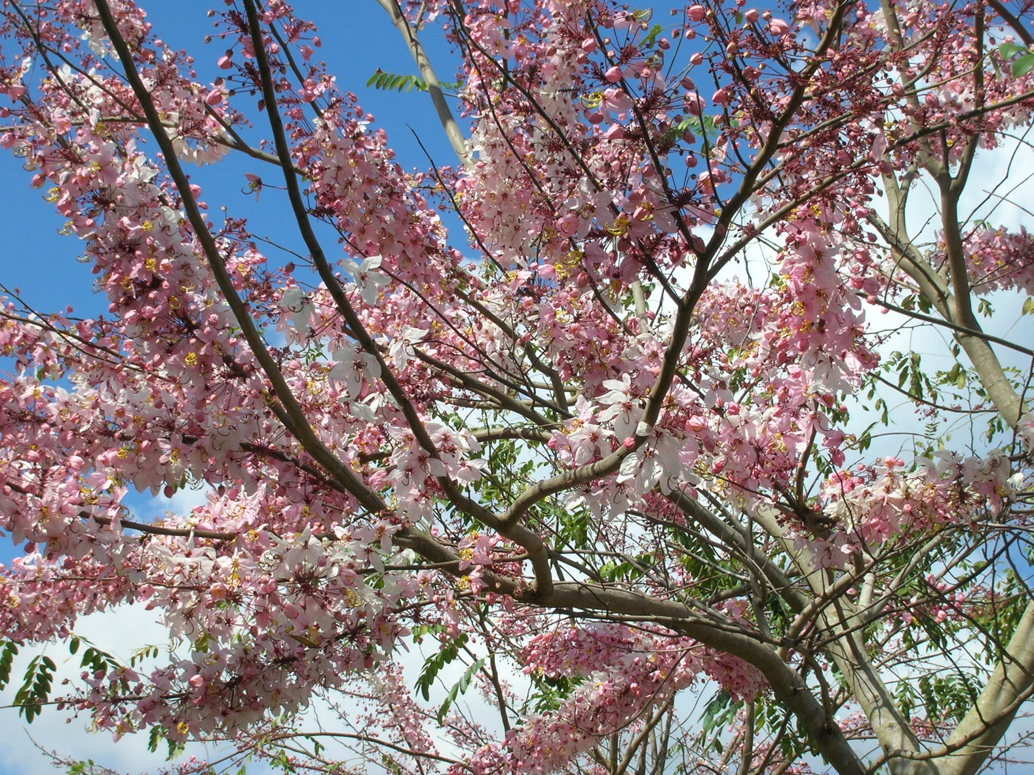 Pink Shower Tree Cassia Bakeriana Richard Lyons Nursery Inc
