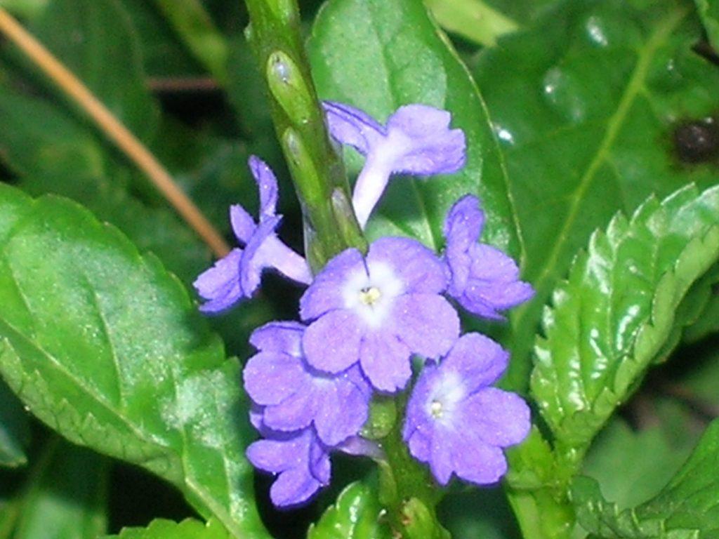 Blue Porterweed Stachytarpheta Jamaicensis Richard