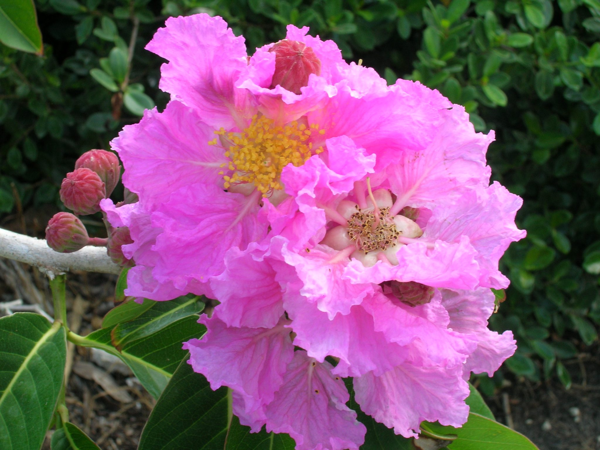 Queen crape myrtle flower little blue book poker pdf
