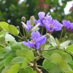 Guaiacum sanctum (Lignum Vitae)