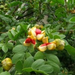 Guaiacum sanctum (Lignum Vitae Fruit)