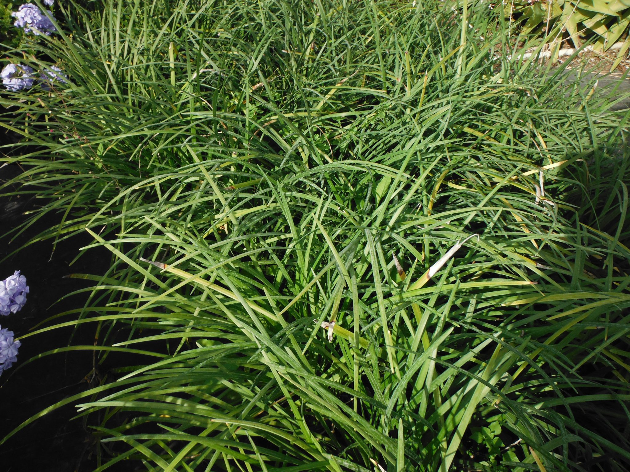 Giant Liriope Or Giant Lilyturf Liriope Gigantea And Mondo Grass
