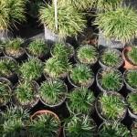 Ophiopogon japonicus (Mondo Grass)
