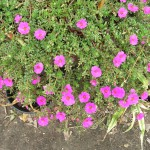 Portulaca grandiflora (Moss Rose)