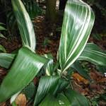 Aspidistra elatior(Cast-Iron Plant3)