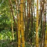 Bambusa vulgaris 'Vittata' (Golden Hawaiian Bamboo)