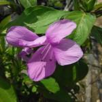 Barleria cristata (Philippine Violet)