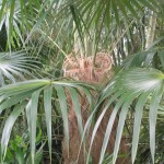 Coccothrinax crinita (Old Man Palm)