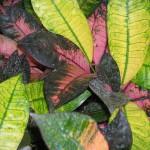 Codiaeum variegatum 'Mrs. Iceton' (Croton)