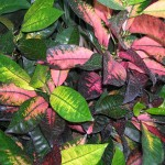 Codiaeum variegatum 'Mrs. Iceton'(Mrs. Iceton Croton4)