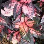 Codiaeum variegatum 'Mrs. Iceton'(Mrs. Iceton Croton)