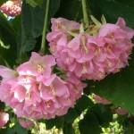 Dombeya wallichii (Tropical Hydrangea)