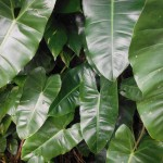 Philodendron sp. 'Burle Marx'(Burle Marx Philodendron)