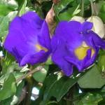 Thunbergia erecta (King's Mantle)