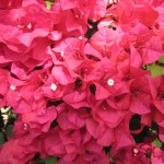 Bougainvillea (Red)