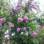 Bougainvillea arborea (Tree Bougainvillea)